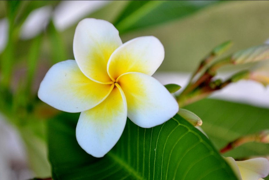 Plumeria – One of the most iconic of Hawaiian flowers, plumeria are used in the string of wearable flowers, leis. A lei may have other flowers added, ...